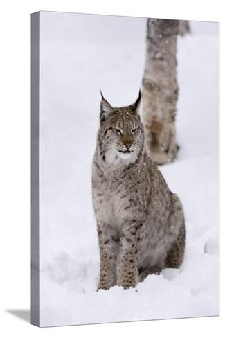 European Lynx (Lynx Lynx), Polar Park, Norway, Troms, Norway, Scandinavia-Sergio Pitamitz-Stretched Canvas Print