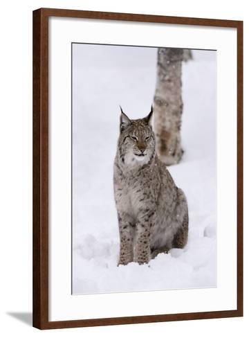 European Lynx (Lynx Lynx), Polar Park, Norway, Troms, Norway, Scandinavia-Sergio Pitamitz-Framed Art Print