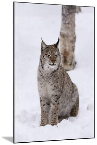 European Lynx (Lynx Lynx), Polar Park, Norway, Troms, Norway, Scandinavia-Sergio Pitamitz-Mounted Photographic Print