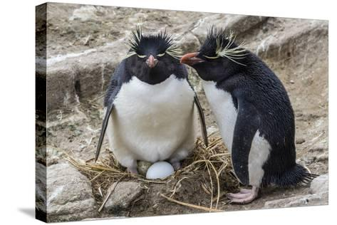 Adult Rockhopper Penguins (Eudyptes Chrysocome) at Nesting Site on New Island, Falkland Islands-Michael Nolan-Stretched Canvas Print