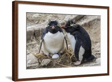 Adult Rockhopper Penguins (Eudyptes Chrysocome) at Nesting Site on New Island, Falkland Islands-Michael Nolan-Framed Art Print