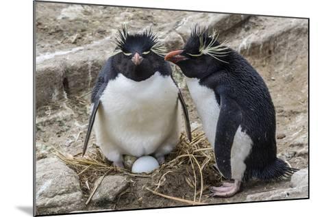 Adult Rockhopper Penguins (Eudyptes Chrysocome) at Nesting Site on New Island, Falkland Islands-Michael Nolan-Mounted Photographic Print