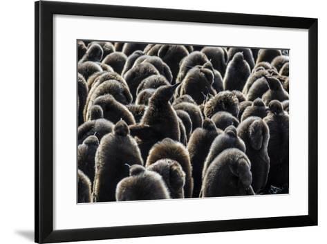 Juvenile King Penguins (Aptenodytes Patagonicus) at Breeding Colony at Salisbury Plain-Michael Nolan-Framed Art Print