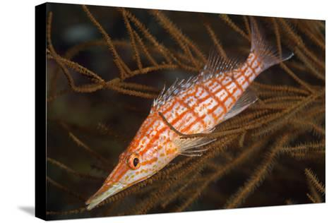 Longnose Hawkfish (Oxycirrhites Typus)-Louise Murray-Stretched Canvas Print