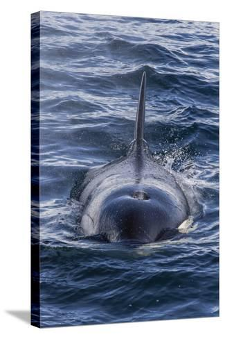 Adult Type a Killer Whale (Orcinus Orca) Surfacing in the Gerlache Strait, Antarctica-Michael Nolan-Stretched Canvas Print