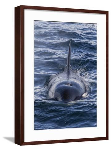Adult Type a Killer Whale (Orcinus Orca) Surfacing in the Gerlache Strait, Antarctica-Michael Nolan-Framed Art Print