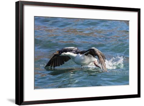Adult South Georgia Shag (Phalacrocorax Atriceps Georgianus), in Ocean Harbor, South Georgia-Michael Nolan-Framed Art Print