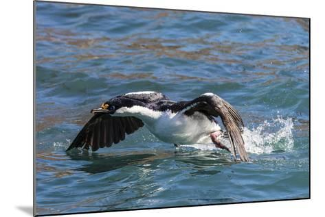 Adult South Georgia Shag (Phalacrocorax Atriceps Georgianus), in Ocean Harbor, South Georgia-Michael Nolan-Mounted Photographic Print