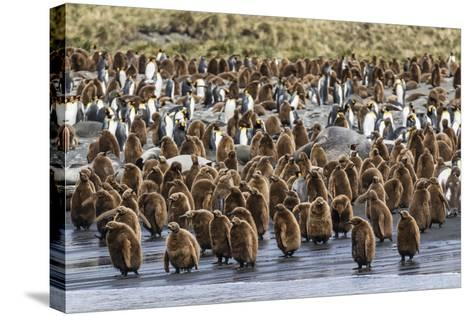 Adult King Penguins and Okum Boy Chicks (Aptenodytes Patagonicus) Heading to Sea in Gold Harbor-Michael Nolan-Stretched Canvas Print