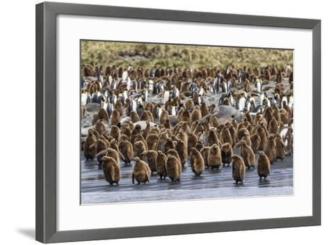 Adult King Penguins and Okum Boy Chicks (Aptenodytes Patagonicus) Heading to Sea in Gold Harbor-Michael Nolan-Framed Art Print