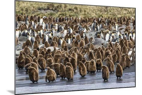 Adult King Penguins and Okum Boy Chicks (Aptenodytes Patagonicus) Heading to Sea in Gold Harbor-Michael Nolan-Mounted Photographic Print