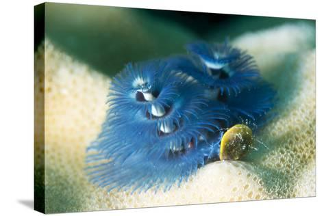 Blue Christmas Tree Worm (Spirobranchus Giganteus), Cairns, Queensland, Australia, Pacific-Louise Murray-Stretched Canvas Print