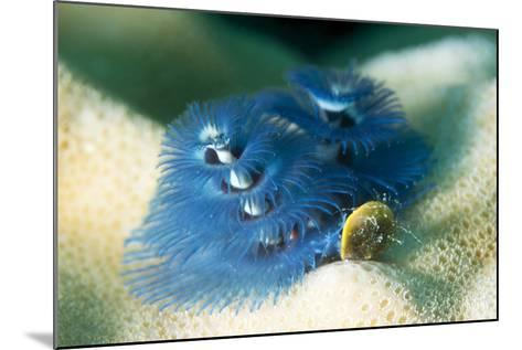 Blue Christmas Tree Worm (Spirobranchus Giganteus), Cairns, Queensland, Australia, Pacific-Louise Murray-Mounted Photographic Print