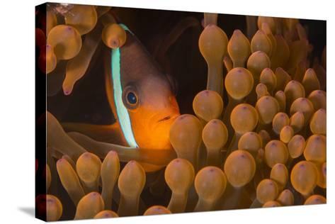 Dusky Anenomefish (Amphiprion Melanomas) Dominant Female-Louise Murray-Stretched Canvas Print