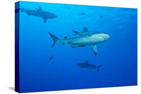 Whitetip Reef Shark (Triaenodon Obesus) Is a Requiem Shark in the Genus Carcharinidae-Louise Murray-Stretched Canvas Print