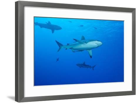 Whitetip Reef Shark (Triaenodon Obesus) Is a Requiem Shark in the Genus Carcharinidae-Louise Murray-Framed Art Print
