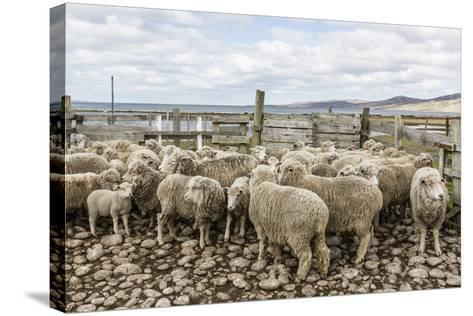 Sheep Waiting to Be Shorn at Long Island Sheep Farms, Outside Stanley, Falkland Islands-Michael Nolan-Stretched Canvas Print