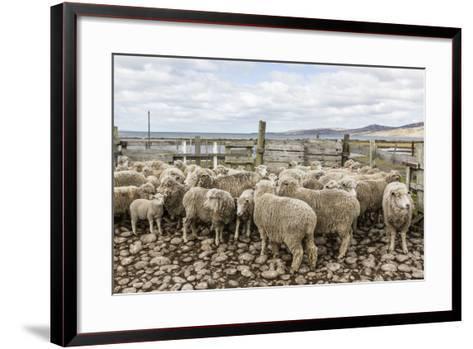 Sheep Waiting to Be Shorn at Long Island Sheep Farms, Outside Stanley, Falkland Islands-Michael Nolan-Framed Art Print