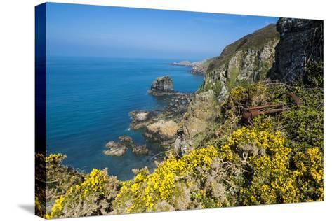 Blooming Gorse over the East Coast of Sark, Channel Islands, United Kingdom-Michael Runkel-Stretched Canvas Print