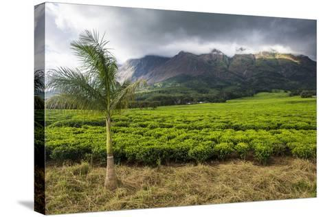 Tea Estate on Mount Mulanje, Malawi, Africa-Michael Runkel-Stretched Canvas Print