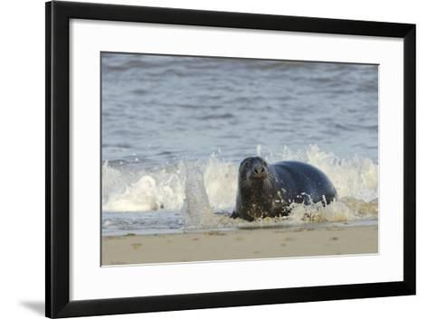 Grey Seal (Halichoerus Grypus) Adult Hauling Ashore Among Breaking Waves-Nick Upton-Framed Art Print