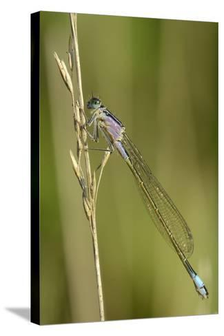 Female Blue-Tailed Damselfly (Ischnura Elegans)-Nick Upton-Stretched Canvas Print