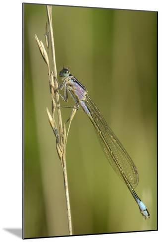 Female Blue-Tailed Damselfly (Ischnura Elegans)-Nick Upton-Mounted Photographic Print