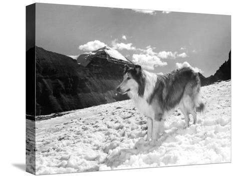 Serie Televisee Lassie 1954-74--Stretched Canvas Print