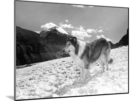 Serie Televisee Lassie 1954-74--Mounted Photo