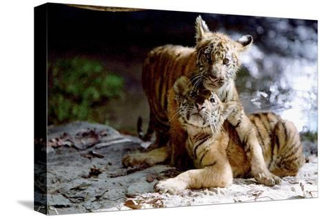 Deux Freres Two Brothers De Jeanjacquesannaud Avec Les Petits Tigres Kumal, Sangha, 2004--Stretched Canvas Print