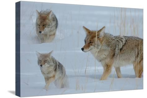 Coyote and Cubs-Lantern Press-Stretched Canvas Print