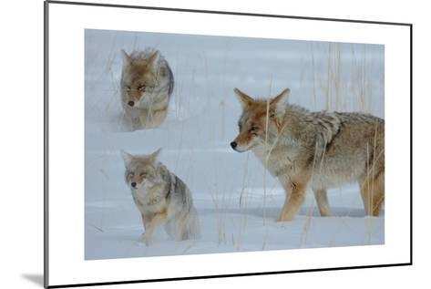 Coyote and Cubs-Lantern Press-Mounted Art Print