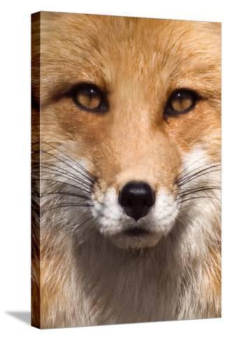Fox Face-Lantern Press-Stretched Canvas Print