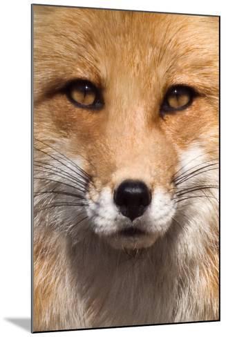 Fox Face-Lantern Press-Mounted Art Print