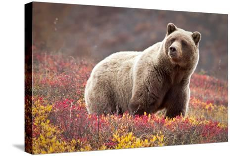 Grizzly Bear and Flowers-Lantern Press-Stretched Canvas Print