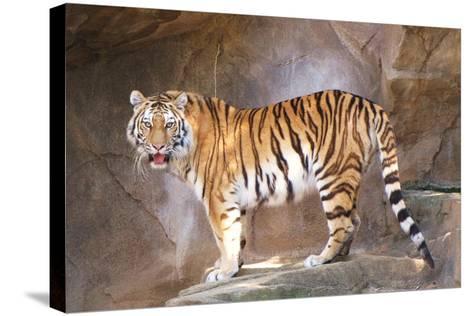 Tiger on Ledge-Lantern Press-Stretched Canvas Print