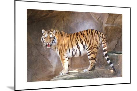 Tiger on Ledge-Lantern Press-Mounted Art Print