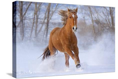 Horse in Snow-Lantern Press-Stretched Canvas Print