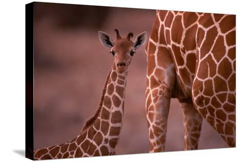 Giraffe and Calf-Lantern Press-Stretched Canvas Print