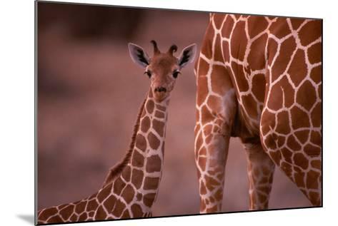 Giraffe and Calf-Lantern Press-Mounted Art Print