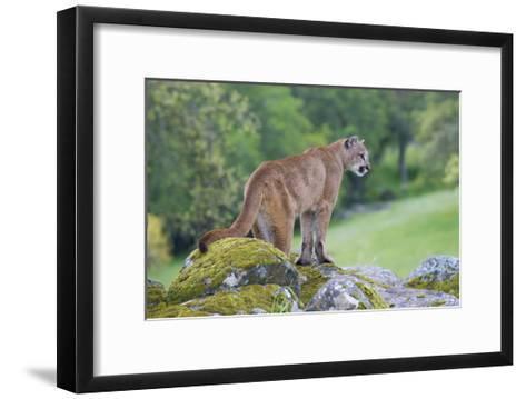 Mountain Lion-Lantern Press-Framed Art Print