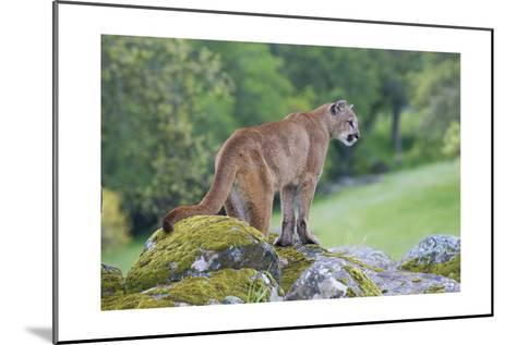 Mountain Lion-Lantern Press-Mounted Art Print