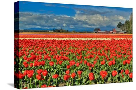 Red Tulip Field-Lantern Press-Stretched Canvas Print