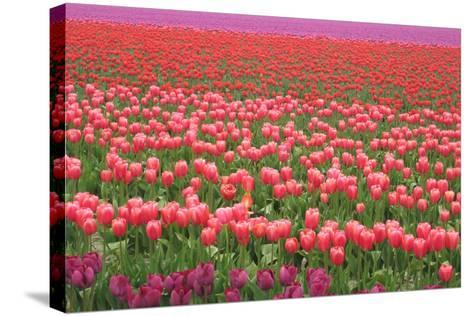 Pink and Purple Tulip Field-Lantern Press-Stretched Canvas Print