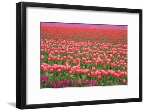 Pink and Purple Tulip Field-Lantern Press-Framed Art Print