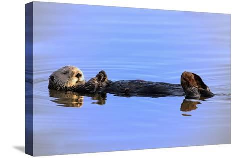 Sea Otter Relaxing-Lantern Press-Stretched Canvas Print