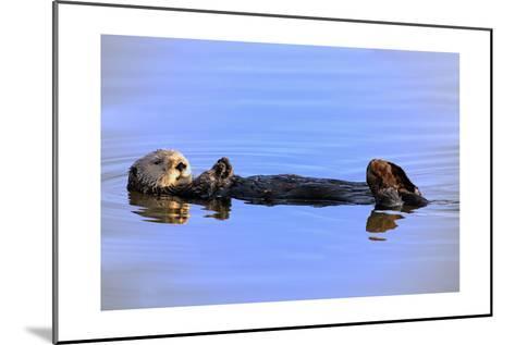 Sea Otter Relaxing-Lantern Press-Mounted Art Print