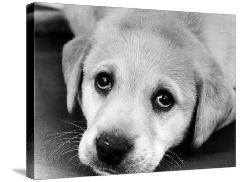A Labrador puppy, 1978-Freddie Reed O.B.E.-Stretched Canvas Print