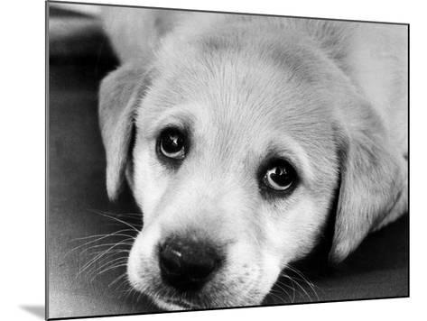 A Labrador puppy, 1978-Freddie Reed O.B.E.-Mounted Photographic Print