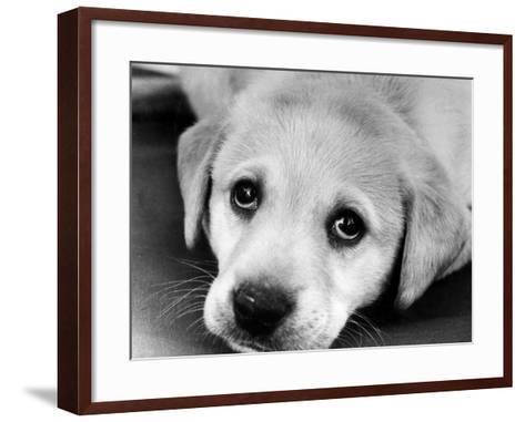 A Labrador puppy, 1978-Freddie Reed O.B.E.-Framed Art Print